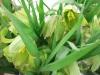 Fritillariahermonis08031