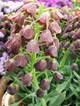 Fritillariapersica08032