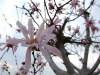 Magnoliastellata0803