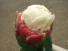 Tulipicecream08042802