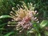 Alliumschubertti080503