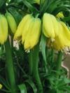 Ws0903fritillaria_2