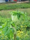 Apiaceaewhite090605