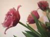 Tulip1002open01