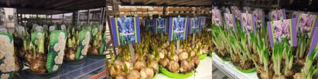 Aalsmeer1301plants07