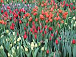 Tulipday201400