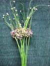 Alliumbizari