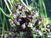 Alliumbizariup