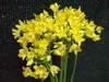 Alliumjeanny