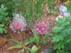 Alliumschubertii_2