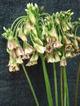 Alliumsiculum1_1