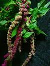 amaranthusmix1