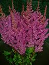 astilbe_purplevision