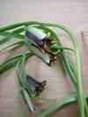 Fritillariaelwesii1_3