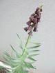 Fritillariatuin0704
