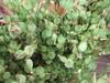 Greensilene0705