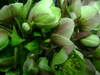 Helleborusargutifoliusrose2