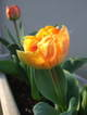 Hollandtulip07042
