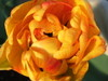 Hollandtulip07043