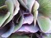 Hydrangea070502