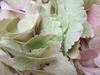 Hydrangea070504