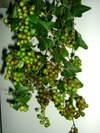 Salixberry