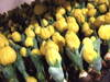 Yellowtulip070126_1